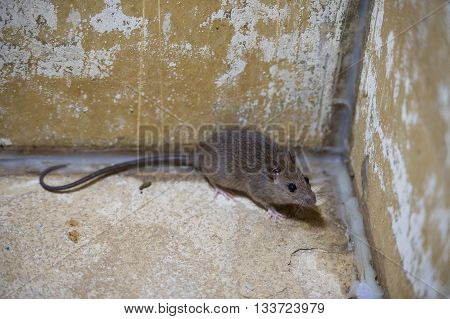 Brown rat in mortar Tubs in the house