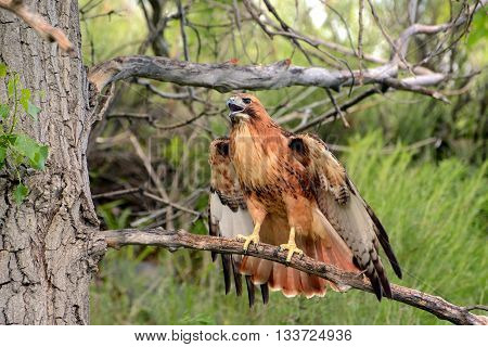 Red-tailed hawk calling to mate on a tree branch