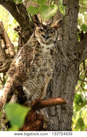 Great horned owl is camouflaged in the cottonwood tree