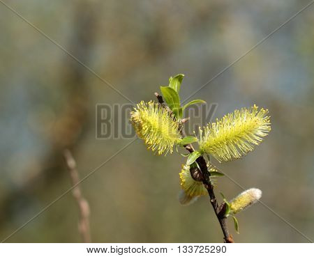 Blossom willow twig over the blur background