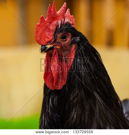 Close up of large black rooster with red comb on a bright background