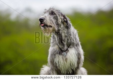 Portrait of Irish Wolfhound on a green background
