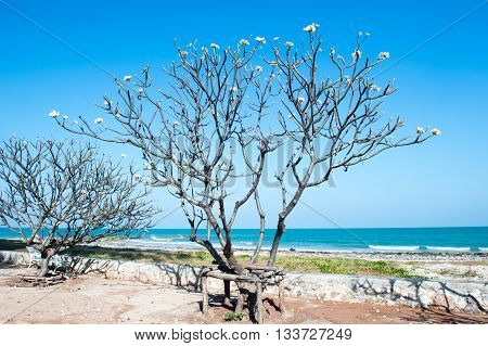Frangipani tree by the sea. side the sea with blue sky
