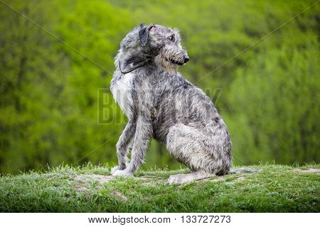 Irish Wolfhound sit on a green grass on a green background
