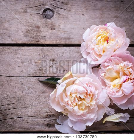 Tender pink peonies flowers on aged wooden background. Flat lay. Top view with copy space. Selective focus. Square image.