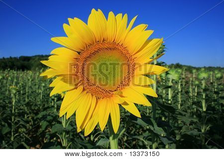 Field Of Sunflowers In Tuscany