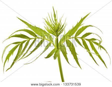 Valerian herb leaf isolated on white background