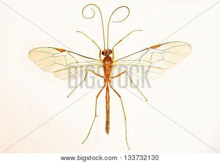 Ichneumon Wasp on white Background  -  Ophion sp.