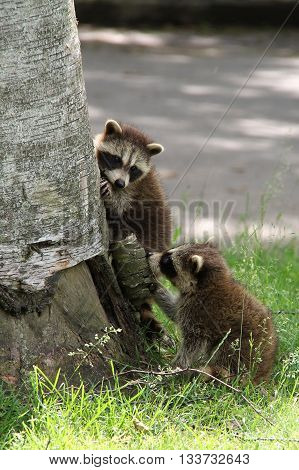 Two baby raccoons trying to climb a tree but are both too young to do it.