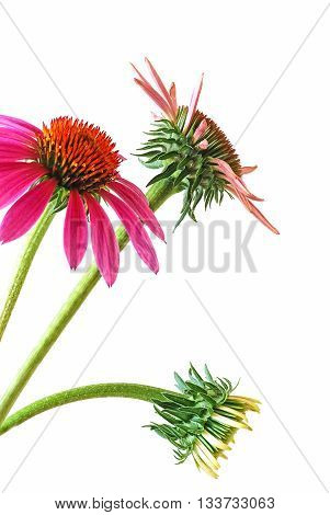 A vertical closeup of a cluster of coneflowers (echinacea) at different stages of development isolated on white background. It is a common medicinal herb for stimulating the immune system.