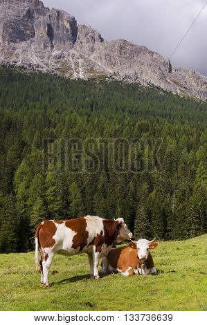 Cows on a meadow in the Dolomites, Italy, Europe