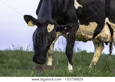 Black and white Holstein dairy cow with a supplement mineral block