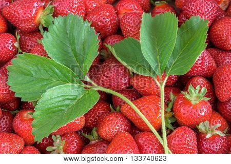 Fresh strawberry harvest, box of berries with stems and a pair of plant leaves