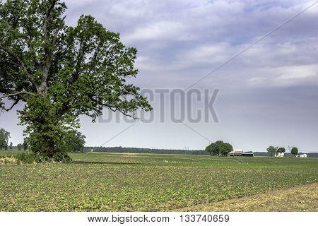 Newly emerged soybean field in western Ohio