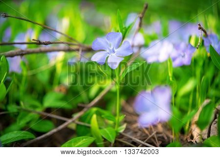 Periwinkle Vinca blue spring flowers in the forest