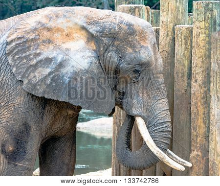 Montgomery, Alabama February 21 2016: Close up of an African elephant at the Montgomery Zoo.