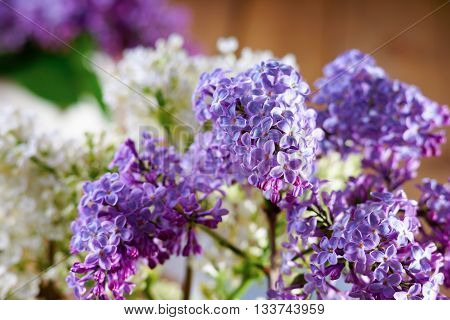 Bunch of flowering purple lilac on a white lilac background