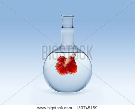 fighting fish or siamese fish on chemical laboratory glassware on blue gradient background