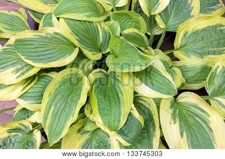 Variegated Hostas Foliage in Springtime Closeup Macro Background