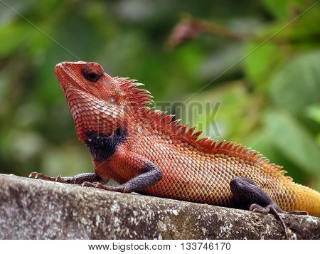 An Oriental Garden Lizard or Indian Garden Lizard hunting for bugs.