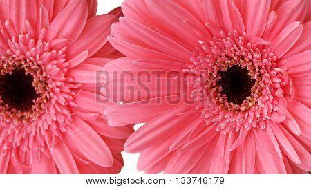 Close up of a beautiful gerbera flower (gerbera, pink, daisy)