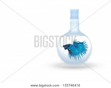 beautiful siam fighting fish on black people feed then as a pet in aquatic hobby