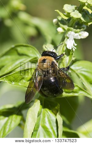 Yellow and Black Bumblebee Pollinating Common Basil Blossoms,