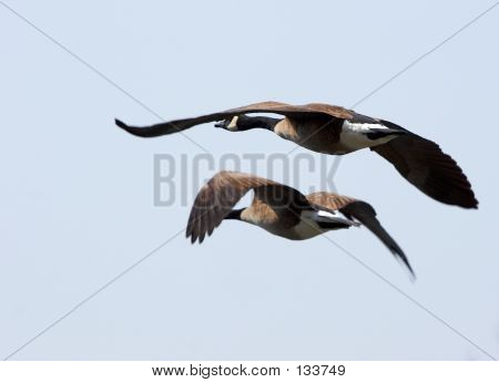 Pair Of Flying Geeses