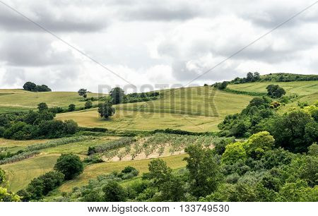 Grove Of Olive Trees Growing In Hilly Farmland