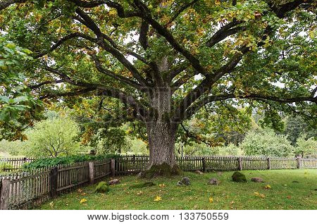 Old thick oak tree in park of the Mikhailovskoye village Pushkinskiye Gory Reserve Russia
