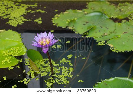 Lotus Flower Purple Color