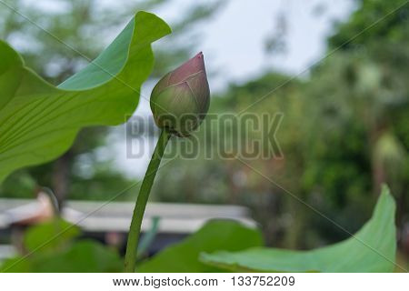 Lotus Flower Green Color