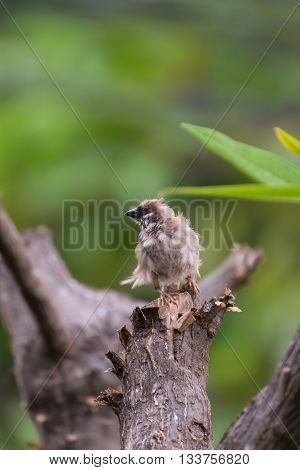 Bird (eurasian Tree Sparrow) On A Tree