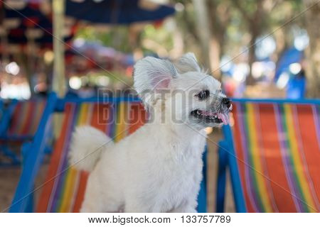 Dog so cute mixed breed with Shih-Tzu Pomeranian and Poodle travel at beach on beach bed Beige color