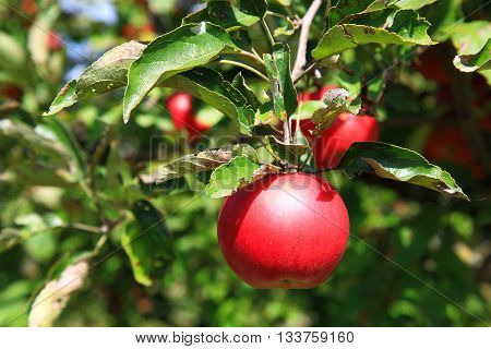 Red apple on a tree in the garden on a sunny day. Natural food without chemicals.