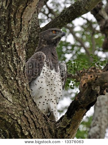 Africa:martial Eagle