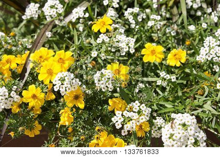 Yellow Daisy and white Cuckoo flowers in the summer
