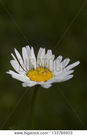 an oxeye flower withba drop of water