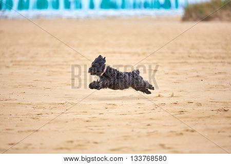 Black Havanese Dog Playing On The Beach