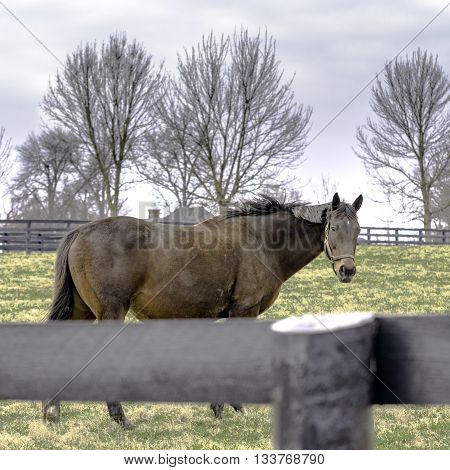 Thoroughbred broodmare in a winter pasture in Kentucky in the winter - square format