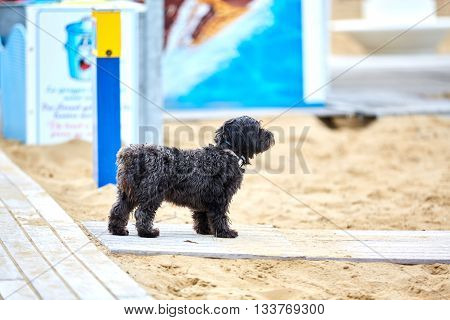 Havanese Dog Standing On A Way At The Beach