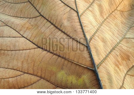 Brown dried leaf. Texture of teak leaf show detail of leaf in background selective focus.