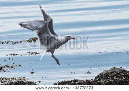 Måge der lander på sten ved strandkanten