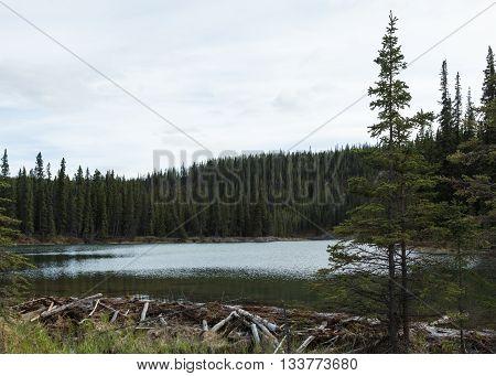 A beaver dam at Horseshoe Lake in Denali National Park