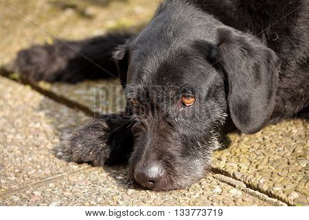 A Hound Dog German Wire-haired Pointer is sleeping