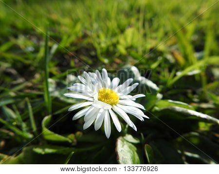 Macro photography of a daisy in garden