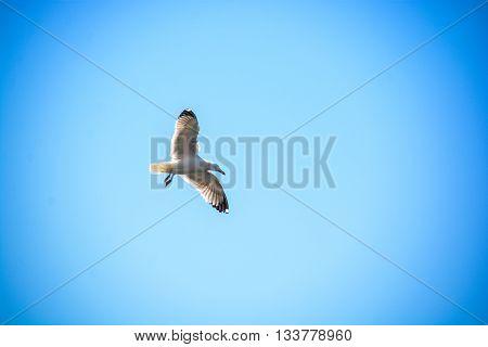 seagull fly over italian sea along Tuscany coast