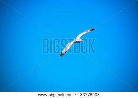 seagull fly over italian sea along the coast