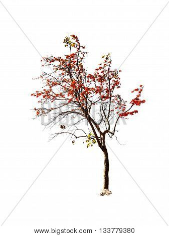 Bastard Teak Or Bengal Kino Tree Isolated On White Background