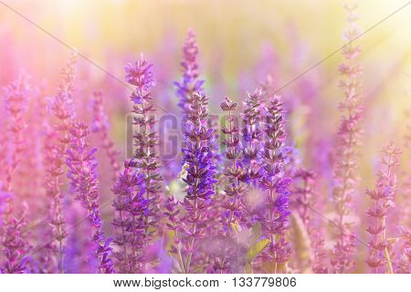 Flowering meadow - beautiful purple meadow flowers lit by sun rays